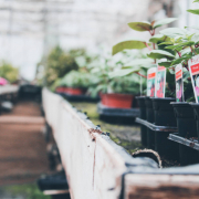 Bakken met fuchsia planten in huis en tuinwinkel